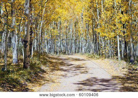 Dirt Road Through Fall Aspen Forest In Colorado