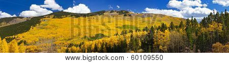 Fall Aspen Forest Panoramic Landscape
