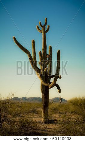 Crazy Armed Saguaro Cactus