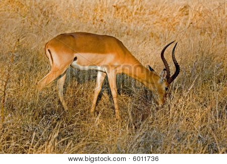 Impala grazing peacefully in Africa