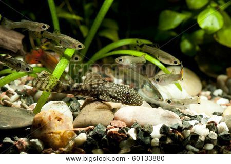 Ancistrus dolichopterus and guppy fishes