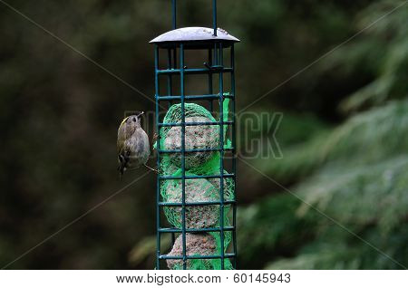 Goldcrest Feeding On Suet Balls.