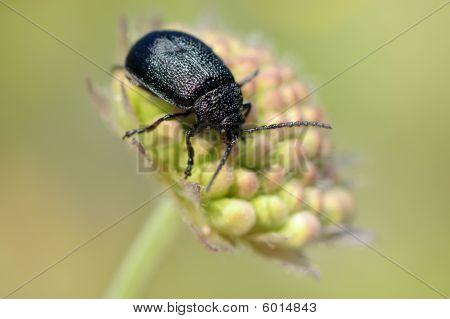 The beetle on a bud