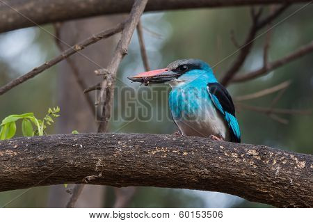 Blue-breasted Kingfisher (halcyon Malimbica) With Wasp