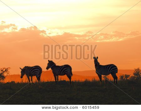 Serengeti Zebra Sundown