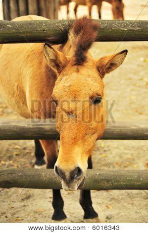 Prozhivalsky horse