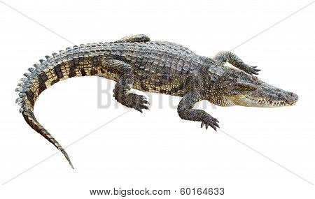 Wildlife Crocodile Isolated On White