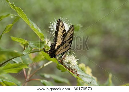 Tiger Swallowtail On Buttonbush Wildflower 2