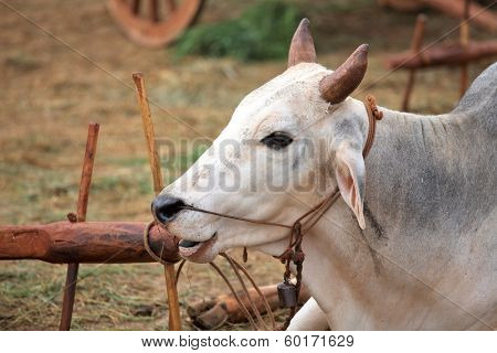Domestic zebu (Bos primigenius taurus)