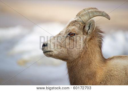 Bighorn Beauty