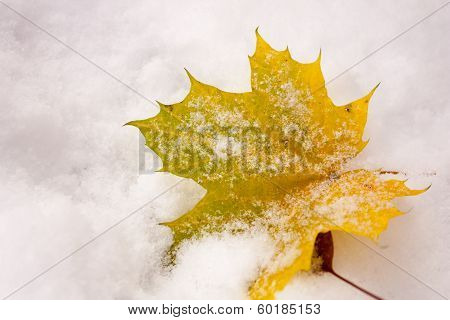 Yellow Maple Leaf In Snow