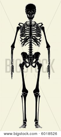 Human Skeleton Vector