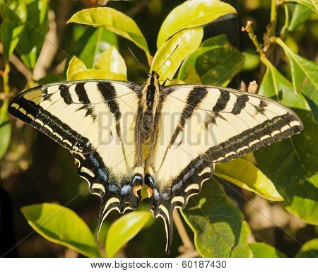Closeup of a Western Tiger Swallowtail butterfly with it's wings spread open
