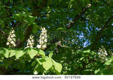Flowers Of A Horse-chestnut Tree