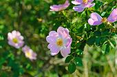 stock photo of dog-rose  - Flowers of dog - JPG