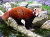 Постер, плакат: Красная панда