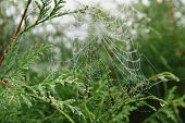 thuja and cobweb
