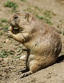 image of gopher  - European ground squirrel (spermophilus citellus suslik gopher)