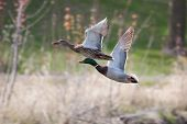 stock photo of male mallard  - Male and Female Mallards in flight above lake in soft focus - JPG