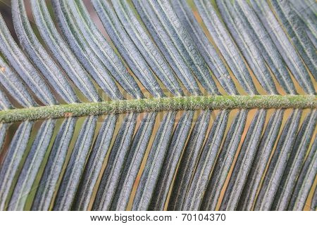 Beautiful Green Cycad Leaf
