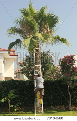 Trimming a tall palm tree