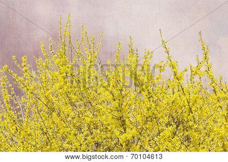 Blooming Forsythia bush on grunge background