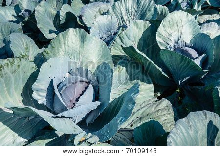 Organically Cultivated Red Cabbages From Close