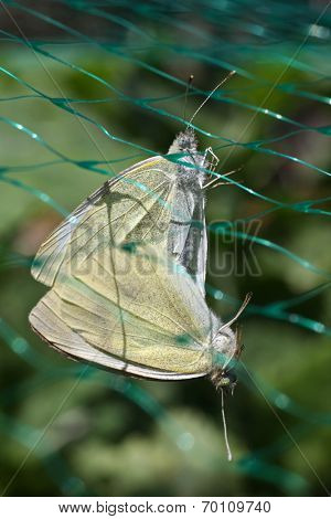 cabbage white butterflies breeding, using a convenient garden net which is in place to protect cabbages !