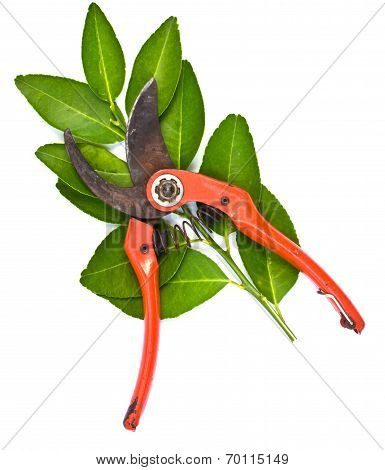 Pruner With Leaves On White