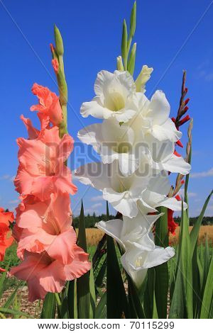 White And Orange Gladiolas In The Flower Field