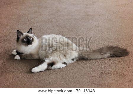 Siberian Pedigree Cat Full Length