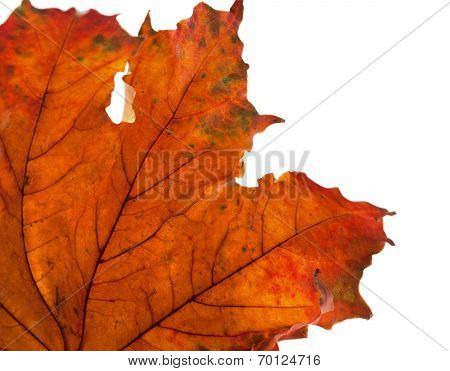Dry Maple Leaf In Corner