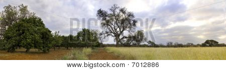 Orchard In The Bushveld