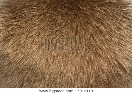 Fur Texture Fox