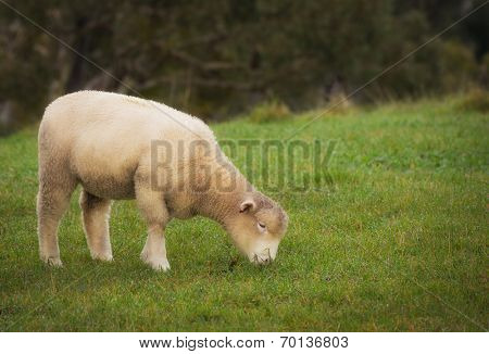 A sheep eating grass in the Adelaide Hills