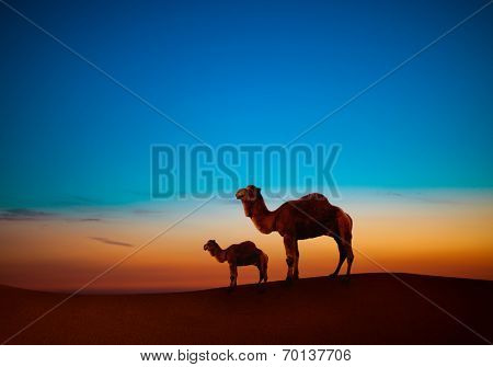 Two camels in desert after sunset
