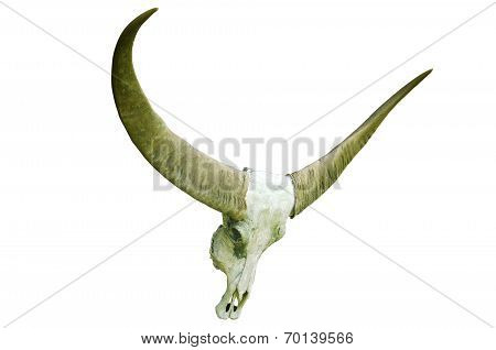 Long Horn Buffalo Skull On White
