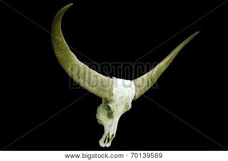 Long Horn Buffalo Skull On Black