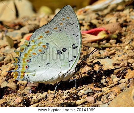 Beautiful light Green Jewelled Nawab Butterfly in nature environment with sharp details