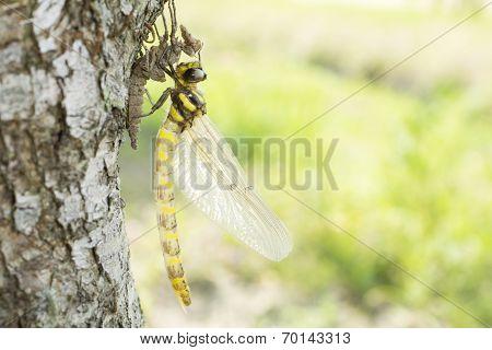 Emerged dragonfly