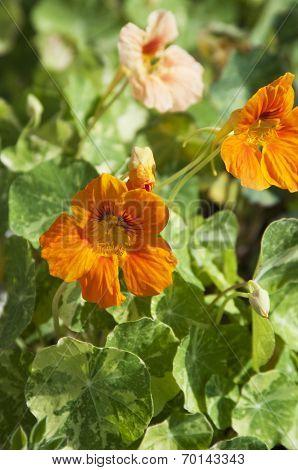 Nasturtium (indian Cress) Flowers