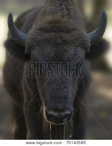 European Bison Calf