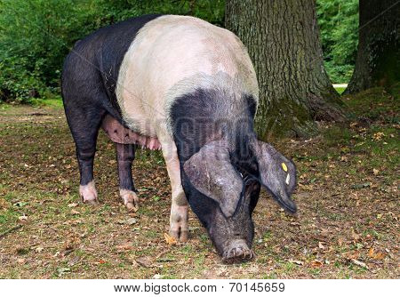 Saddleback Pig In The New Forest Woodland