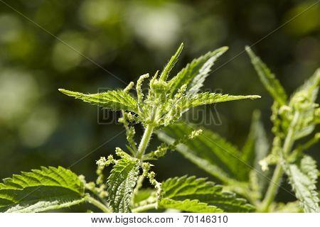Flora - Stinging Nettle