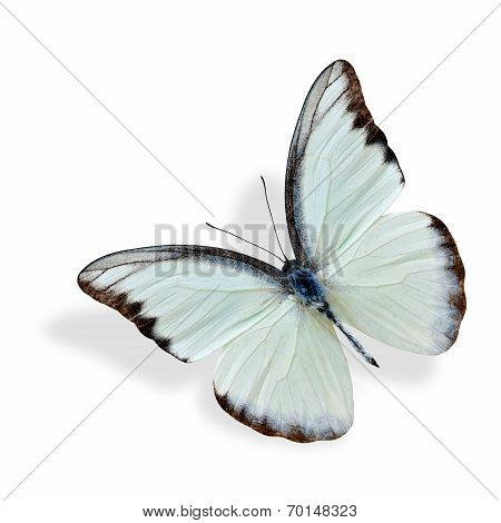 Chocolate Albatross upper wing profile (appias hubner lyncida) the beautiful white butterfly flying with soft shadow underneath