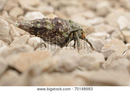 Hermi Crab