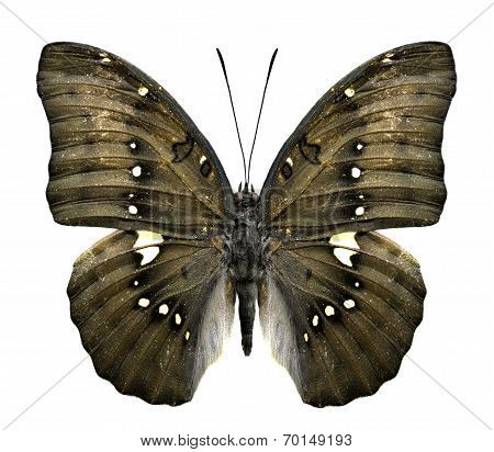 Close Up Of Great Marquis Butterfly Upper Wing Profile In Natural Color Isolated On White Background