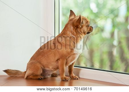 Red Chihuahua Dog Sitting On Window Sill.