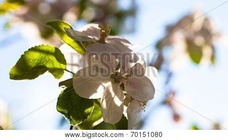 Close Up Of The Apple Tree Flowers