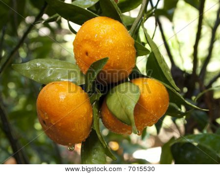 Tangerines on the tree after the rain